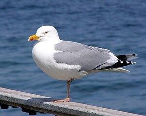 Larus - Herring gull