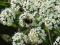 Laserpitium latifolium0.jpg