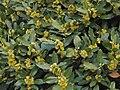 Laurus nobilis 20100419.jpg