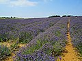 Lavender Fields (43609442832).jpg