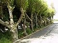 Leaning Trees - geograph.org.uk - 876783.jpg