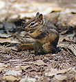 Least Chipmunk1com.jpg