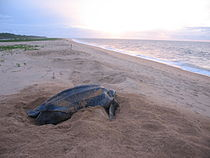 Leatherback Turtle near Galibi.jpg