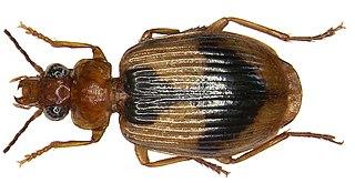 <i>Lebia</i> genus of insects
