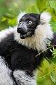 Lemur (24168889348).jpg