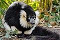Lemur (26618933377).jpg