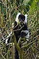 Lemur (26619203487).jpg