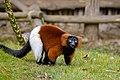 Lemur (26992387228).jpg