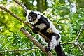 Lemur (36453009900).jpg