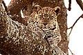 Leopard (Panthera pardus) (5506659867).jpg