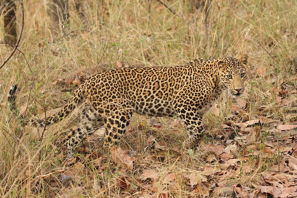 https://upload.wikimedia.org/wikipedia/commons/thumb/7/7f/Leopard_davidraju_93.jpg/1024px-Leopard_davidraju_93.jpg