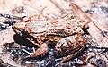 Leptodactylus podicipinus02.jpg