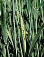 Les Plantes Cultivades. Cereals. Imatge 152.jpg