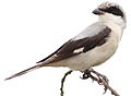 Lesser Grey Shrike, Lanius minor at Pilanesberg NP (15434980963).jpg