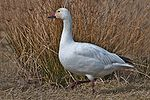 A white goose with a pinkish beak stands before brown vegetation