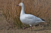 Lesser Snow Goose.jpg