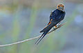 Lesser Striped Swallow (Hirundo abyssinica) (16719643290).jpg