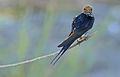 Lesser Striped Swallow (Hirundo abyssinica) (16719643290).jpg