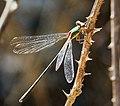 Lestes viridis male. Willow Emerald Damselfly (26091902988).jpg