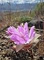 Lewisia rediviva flowering on Badger Mountain Washington 2.jpg