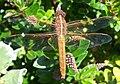 Libellula saturata female (497397062).jpg