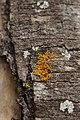 Lichen (42906240992).jpg