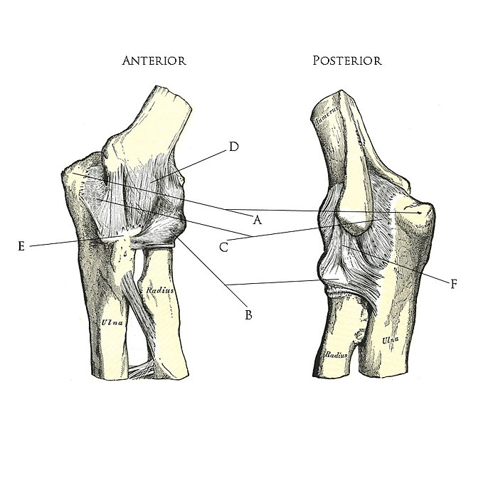UCL anatomy/Elbow Joint Ligaments - Wikiversity