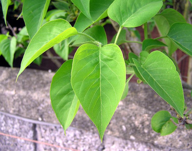Tiedosto:Lilac.leaves.arp.jpg