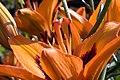 Lilium asiatic Loretto 3zz.jpg