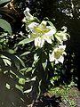 Lilium auratum var virginale Habitus.jpg