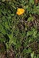Lilium columbianum 1293.JPG