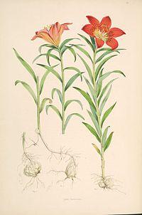 Lilium pensylvanicum