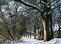 Line of Snow-dusted Trees.jpg