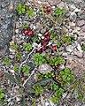 Lingonberry (Vaccinium vitis-idaea) - St. John's, Newfoundland 2019-08-22.jpg