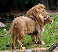 Lions zoo.JPG