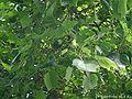 Liriodendron-tulipifera.JPG