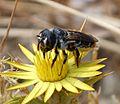 Lithurgus chrysurus. Megachilidae. Female - Flickr - gailhampshire.jpg