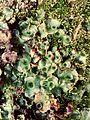 Liverwort Marchantia polymorpha (17039391446).jpg