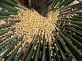 Livistona chinensis - kew 3.jpg