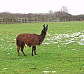 Llama in pasture by Welcome Farm - geograph.org.uk - 1631820.jpg