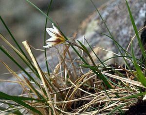"Snowdon - Gagea serotina, the ""Snowdon lily"", grows on the cliffs of Snowdon."