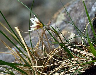 "Snowdon - Gagea serotina (the ""Snowdon lily"") grows on the cliffs of Snowdon"
