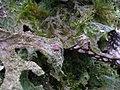 Lobaria macaronesica C. Cornejo & Scheid 407116.jpg