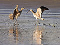 Long-billed Curlews courting.jpg