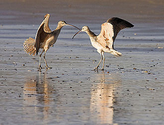 Courtship display - Male and female long-billed curlew, Numenius americanus, mutual courtship display