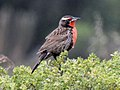 Long-tailed Meadowlark RWD.jpg