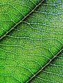 Loquat leaf.JPG