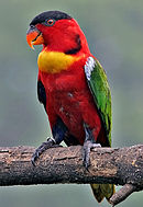 A red parrot with a black forehead, a yellow throat, green wings, white shoulders, and blue ankles
