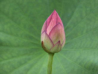 Nelumbo nucifera - Lotus bud