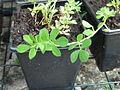 Lotus corniculatus young plant 5.JPG